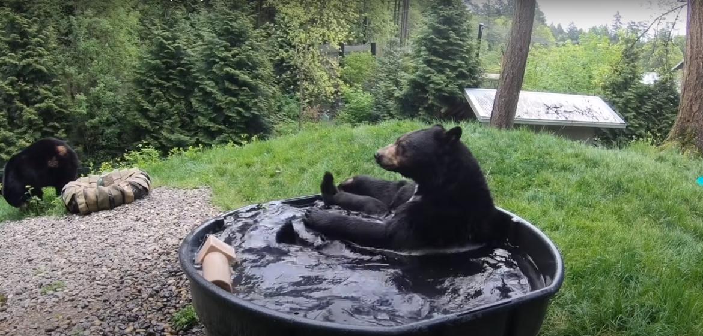 medve erdő pancsol cuki állat videó Oregon állatkert